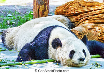 Sleeping panda in its natural habitat - Cute sleeping panda...