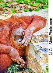 Orang Utan - Orang Utan in its natural habitat in the wild