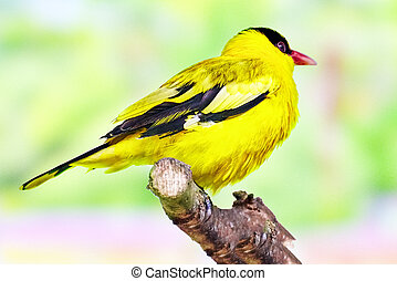 Black-naped Oriole in its natural habitat