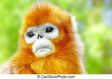 Cute golden Snub-Nosed Monkey in his natural habitat of...