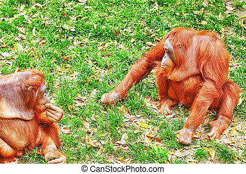 Orang Utan. - Orang Utan in its natural habitat in the wild.