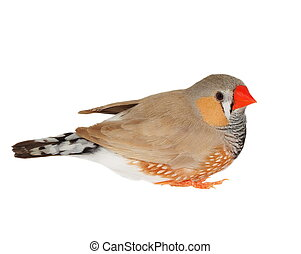 zebra finch isolated on white