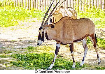 Oryx Gazella National Forest - Oryx Gazella and their...