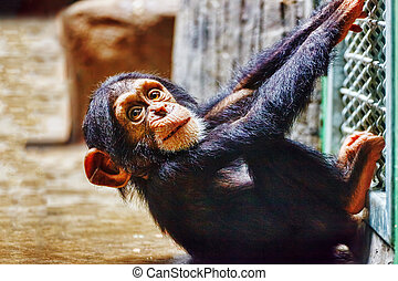 Baby Chimpanzee apes in the indoor