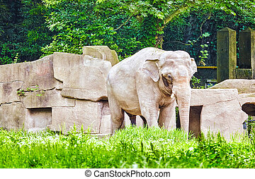 Big Elephant. - Big elephant in their natural habitat in the...
