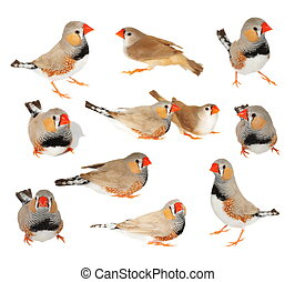 set zebra finch isolated on white