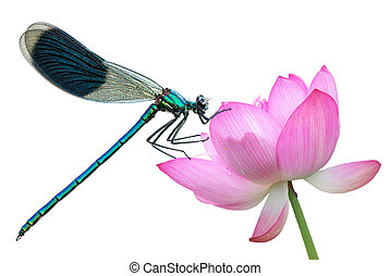 Dragonfly on a water lily close-up - Water lily flower with...