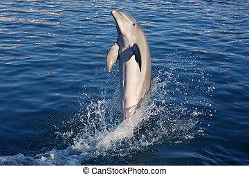 delfino, acrobacy, durante, delfini, mostra, caraibico,...