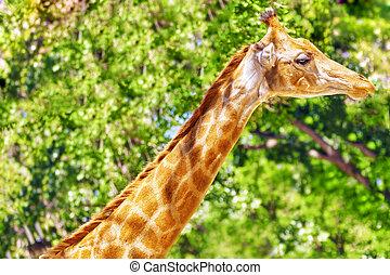 Giraffes their natural habitat. National Forest.