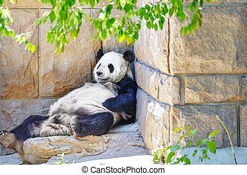 Cute sleeping panda in outdoor