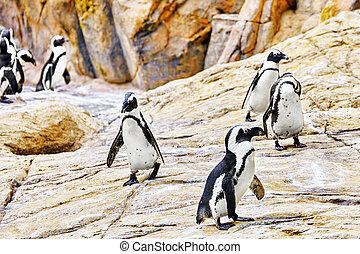 Jackass Penguin. - Jackass Penguin in its natural habitat in...