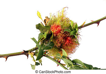 Rose stem wasp gall - Gall made for winter protection by a...