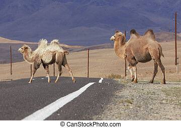 Two Bactrian camels crossing the road in the mountainous...