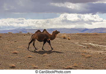 Bactrian camels, backlit, walking through the hills of the...