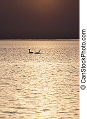 Two swans at sunset teenager swimming in the lake Uureg Nuur...