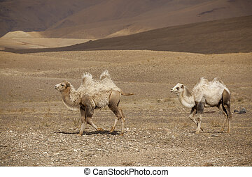 Two Bactrian camels are on the Altay Mountains