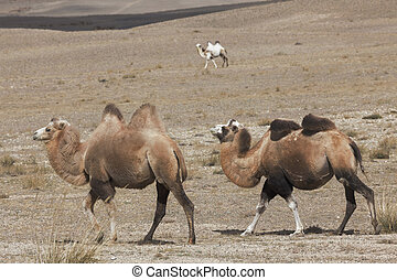 Three Bactrian camels are on the Altay Mountains