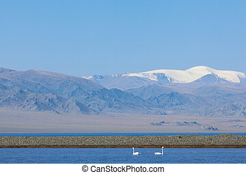 Two teenagers swans in the bay of Lake Uureg Nuur in...