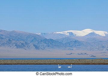 Two teenagers swans in the bay of Lake Uureg Nuur in...