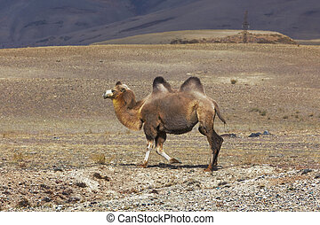 Bactrian camel comes to Altay Mountains