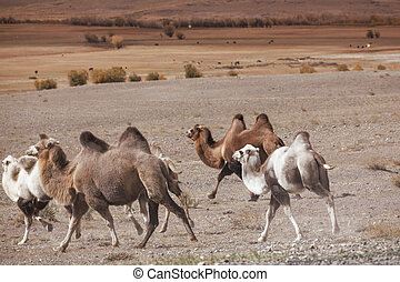 Herd of Bactrian camels running - Herd of Bactrian camels...