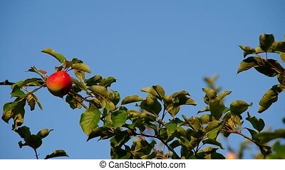 Red apple on the tree and ble sky