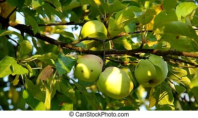 Green apple on the tree and ble sky