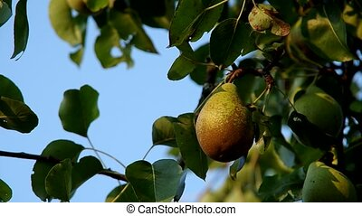 Pear on the tree in autumn