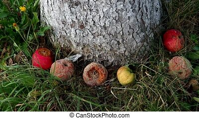 Rotten apples under the tree - Rotten apples on the grass...