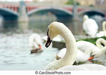 white swan on the river Vltava