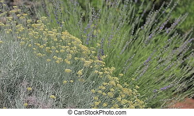 Herbs Lavander and Immortelle - Fragrant herbs lavender and...