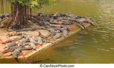 many crocodiles lie on stone bank of lake in tropical park