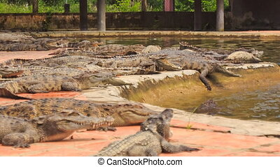 crocodiles lie on bank of pond one comes out of water in park