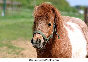 shetland pony - a little shetland pony in the field