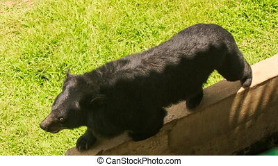 closeup black bear walks along stone barrier in tourist park...