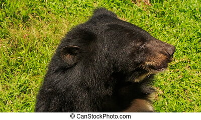 closeup black bear shakes large head and shout in tourist...