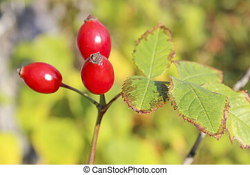 Briar - Ripe red rose hips on a branch close-up