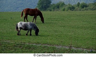 Horse and pony grazing in a meadow