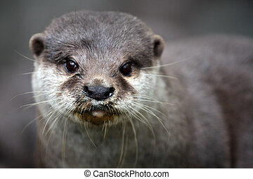 otter - a portrait of a very close-up otter