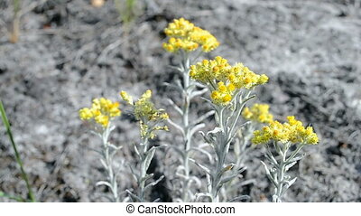 immortelle closeup, summer - immortelle closeup, yellow...