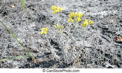 immortelle, summer environment - immortelle closeup, yellow...