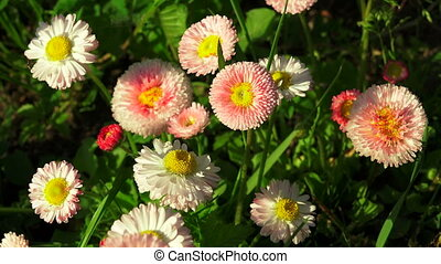 Daisies on a flower-bed Shot in 4K ultra-high definition...