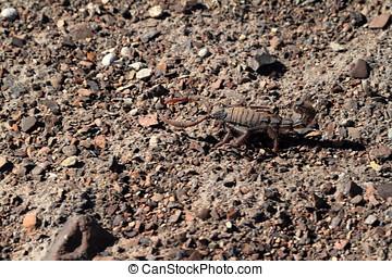escorpiões, em, Namíbia,