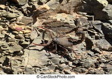 Escorpiones, en, Namibia,