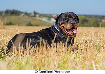 Rottweiler dog on natural background grass field