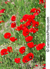 Blooming poppies flowers on green field natural background
