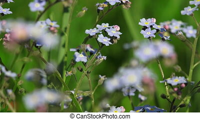 Forget-me-nots. Blue flowers. Shot in 4K (ultra-high...
