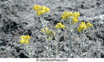 immortelle closeup, medical plant - immortelle closeup,...