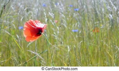 red poppy flower closeup waving on the wind, summer...