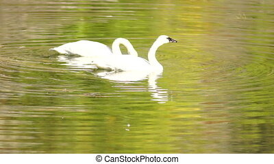 Trumpeter Swans Wild Birds Mating Pair Autumn Alaska Lake -...